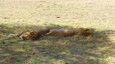 besta : male lions sleeping in savanna at africa Vídeos
