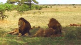 besta : male lions resting in savanna at africa