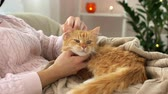 tabby : woman stroking red tabby cat in bed at home Stock Footage