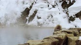 macaco : japanese macaque or snow monkey in hot spring