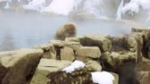 bath : japanese macaque or snow monkey in hot spring