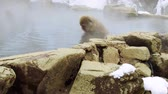 onsen : japanese macaques or snow monkeys in hot spring Stock Footage