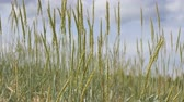 flora : sand reed growing on beach Stock Footage