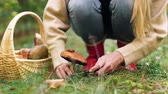 leccinum : young woman picking mushrooms in autumn forest Stock Footage