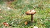 leccinum : brown cap boletus or mushroom in autumn forest