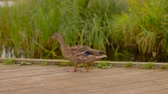 утка : wild duck walking along wooden berth