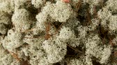 cantharellus : close up of reindeer lichen moss Stock Footage