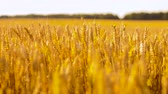 spikelet : cereal field with wheat spikelets Stock Footage