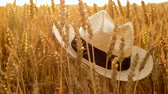spikelet : straw hat on cereal field of ripe wheat