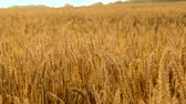 gort : cereal field with ripe wheat spikelets