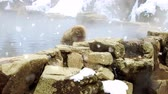 primát : japanese macaque or snow monkey in hot spring
