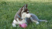 domestic : charming husky puppy in the park