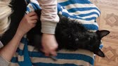 aberdeen : Scottish terrier puppy after a shower, combing, blow-drying Stock Footage