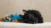 senhora : Scottish terrier puppy chewing on a toy lying on the couch Vídeos