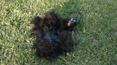 aberdeen : Scotch terrier lying on the grass