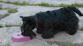 aberdeen : Scottish Terrier drinking water