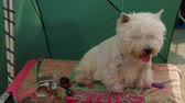 facing down : West Highland Terrier