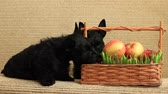 aberdeen : scottish terrier with apples