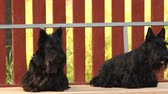 decor : two dog breed Scottish Terrier on a swing