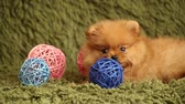 размыто : Pomeranian puppy and colorful decorative balls Стоковые видеозаписи