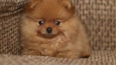 размыто : charming little Pomeranian puppy