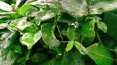 капелька : detail of green leaf and wet when raining drops falling down, slow motion Стоковые видеозаписи