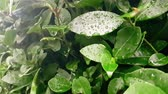 detail of green leaf and wet when raining drops falling down, slow motion Stock Footage