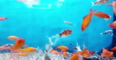 colorful tropical fish in the aquarium, flowing with slow motion, concept of