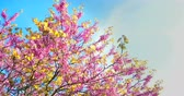 spring tree with pink flowers almond blossom on branch with movement at wind, on blue sky with daily light with