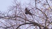 onda : Crow sitting on a tree and then flies slow motion Stock Footage