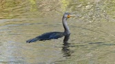 rookery : Double-crested cormorant (Phalacrocorax auritus) swimming