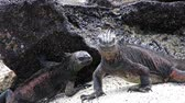 t��o : Marine Iguanas (Amblyrhynchus cristatus) on Chinese Hat island, Galapagos National Park, Ecuador. This iguana found only on the Galapagos islands.