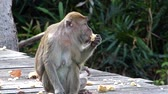 fascicularis : Female Long-tailed macaque with a baby eating at the feeding platform in Labuk Bay, Sabah, Borneo, Malaysia. This macaques live in matrilineal social groups with a female dominance hierarchy Stock Footage