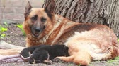pet : German Shepherd dog with puppies in the yard