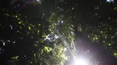 species : High angle view looking to the tops of  trees  with sinlight and flare Stock Footage