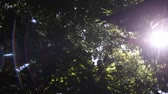 kalifornie : High angle view looking to the tops of  trees  with sinlight and flare Dostupné videozáznamy