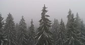 borovice : Beautiful Winter forest