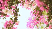 sulawesi : Bougainvillea floewrs bush against the sky in the garden. The sixth version. Stock Footage