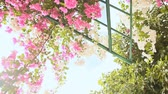 sulawesi : Bougainvillea floewrs bush against the sky in the garden. Hanging from lattice. The third version.