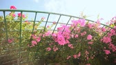 sulawesi : Bougainvillea floewrs bush against the sky in the garden. Hanging from lattice. The fourth version.