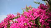sulawesi : Bougainvillea bush against the sky in the garden. The eighth version.