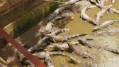 barbaric : Feeding crocodiles in the zoo. Vietnam. Stock Footage