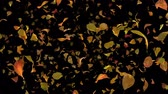 Autumn Fall Leaves Frontal - Black BG - 1080p Realistic Falling Foliage Video Background Loop @60fps