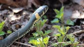 adder : Grass Snake (Natrix Natrix) resting in the warmth