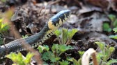ringed : Grass Snake (Natrix Natrix) resting in the warmth