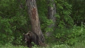 omnivore : Brown bear relaxes rubbing his back northern Europe