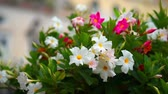 petunia flowers. The rose petunias on the forefront are in the focus. Stock Footage