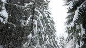 harikalar diyarı : Up view on pine trees covered with snow in winter mountains
