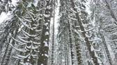 harikalar diyarı : Slowly panning up on pine trees in mountain forest covered with snow