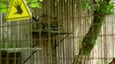 violência : Cheetah jumping in the zoo cage. Slow motion